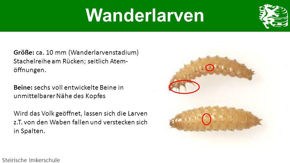 Wanderlarven Steirische Imkerschule Größe: ca. 10 mm (Wanderlarvenstadium) Stachelreihe am Rücken; seitlich Atem- öffnungen. Beine: sechs voll entwick