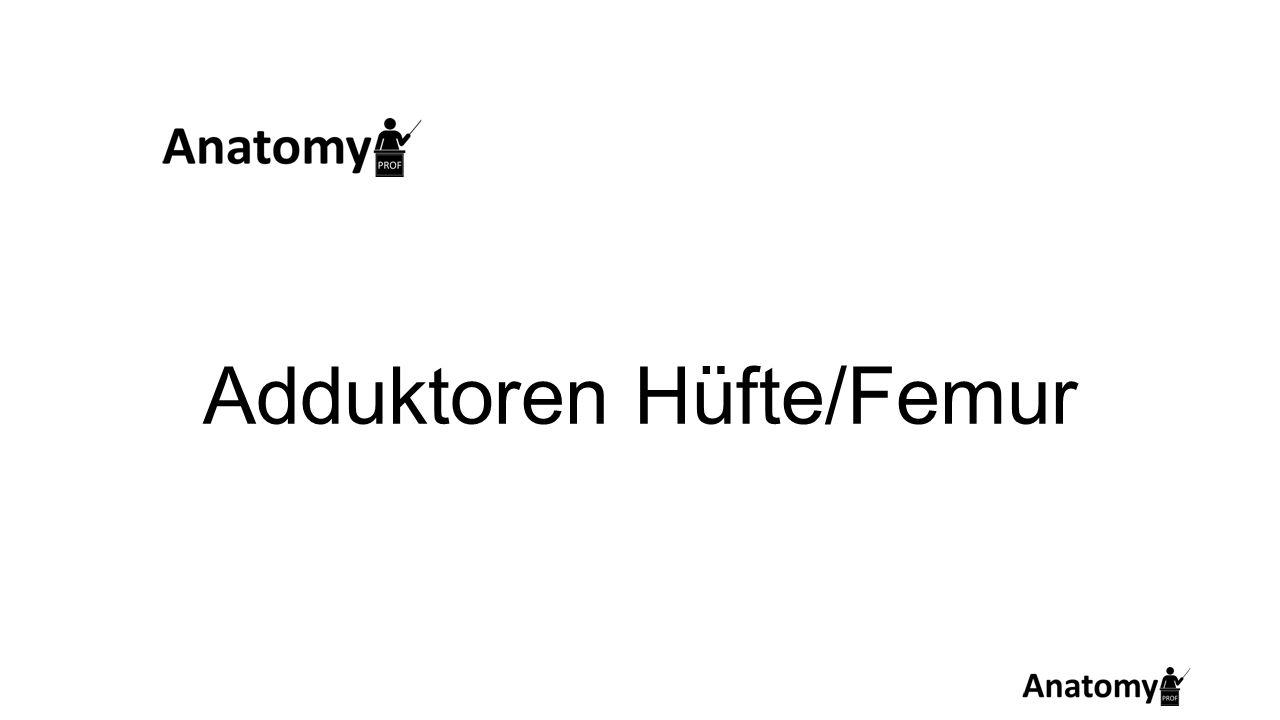 Adduktoren Hüfte/Femur