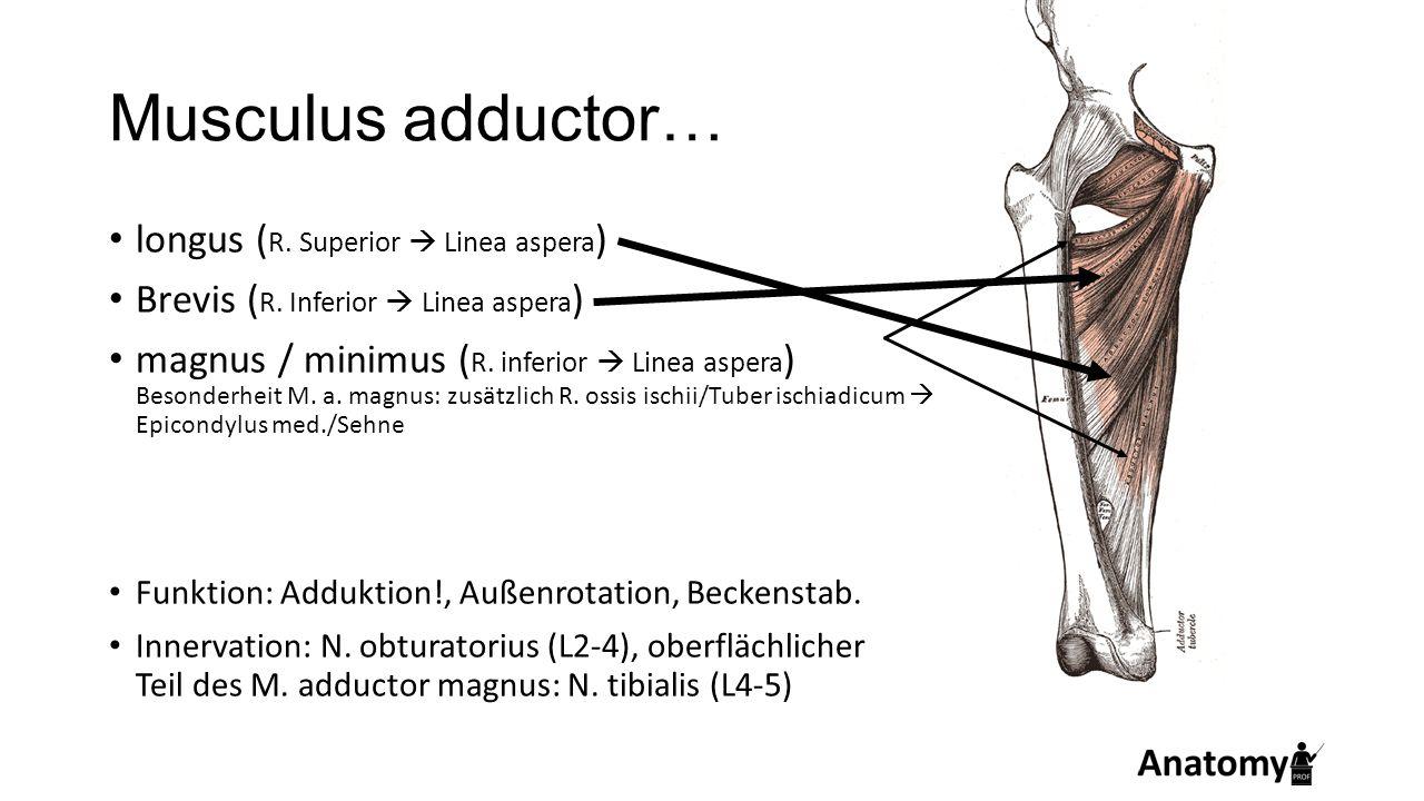 Musculus adductor… longus ( R. Superior  Linea aspera ) Brevis ( R. Inferior  Linea aspera ) magnus / minimus ( R. inferior  Linea aspera ) Besonde