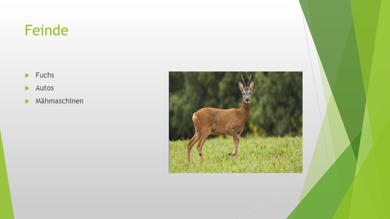 Geweih  Hirschkühen wächst zwar kein Geweih aber Hirsche haben ein Geweih weil sie um die Hirschkühe kämpfen und irgendwann Feld das Geweih von selbst ab...