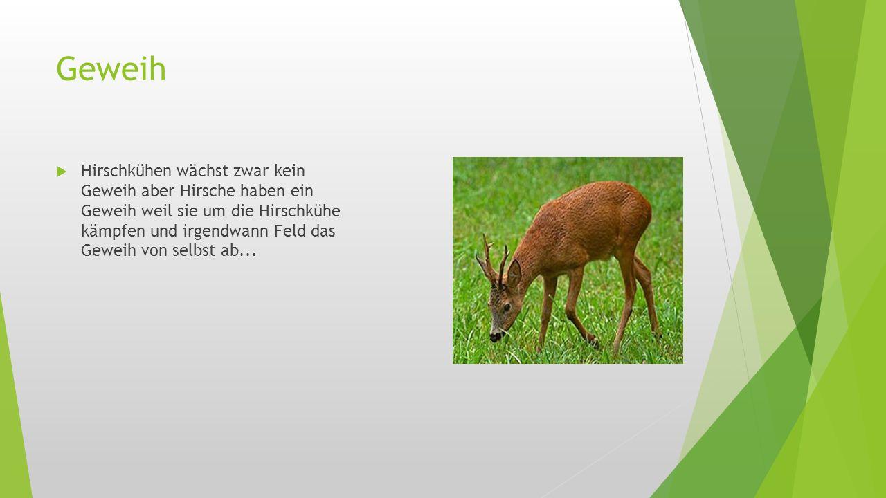 Geweih  Hirschkühen wächst zwar kein Geweih aber Hirsche haben ein Geweih weil sie um die Hirschkühe kämpfen und irgendwann Feld das Geweih von selbs