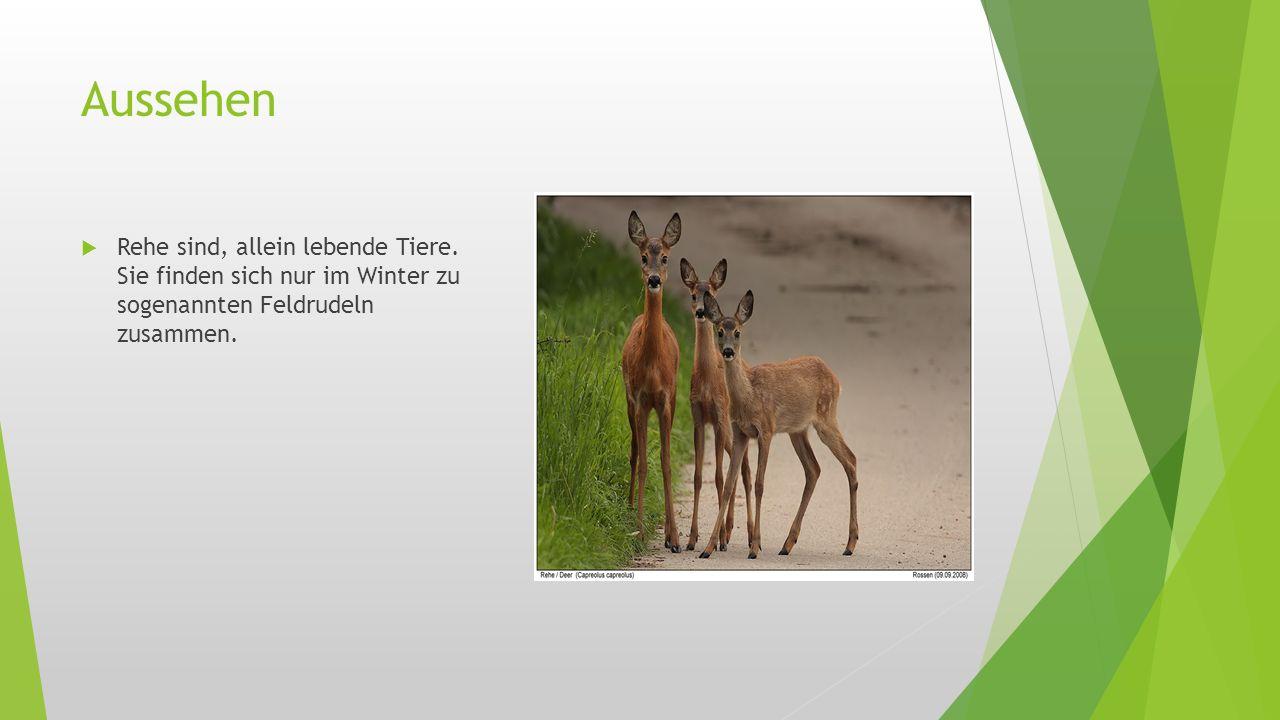 Aussehen  Rehe sind, allein lebende Tiere. Sie finden sich nur im Winter zu sogenannten Feldrudeln zusammen.