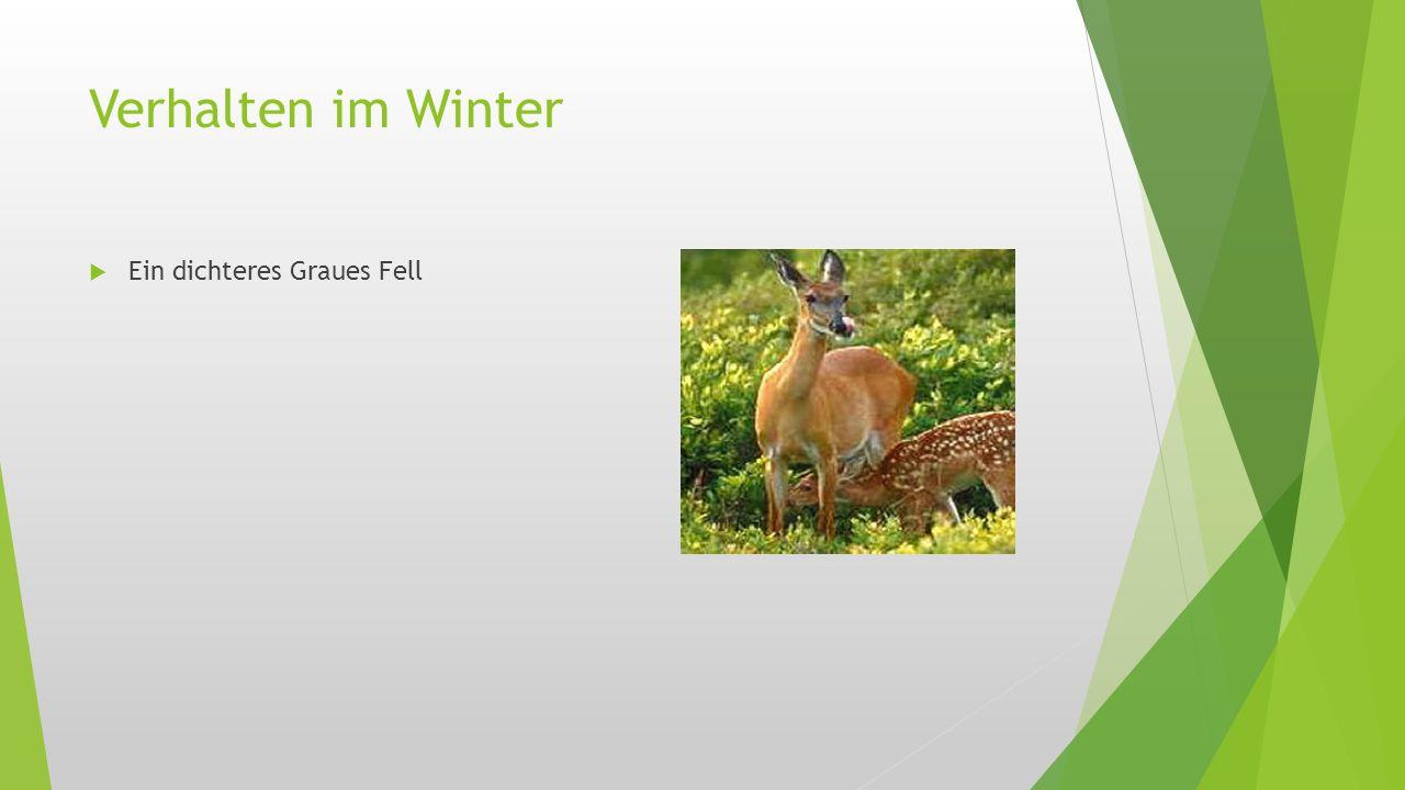Verhalten im Winter  Ein dichteres Graues Fell