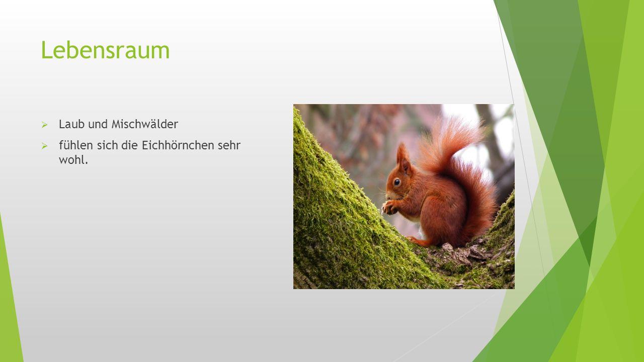 Lebensraum  Laub und Mischwälder  fühlen sich die Eichhörnchen sehr wohl.