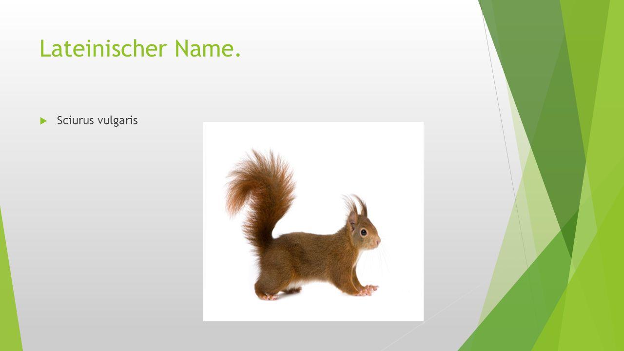 Lateinischer Name.  Sciurus vulgaris
