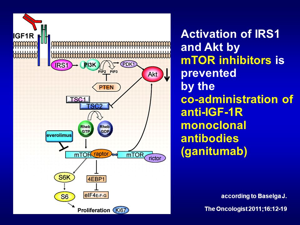 Activation of IRS1 and Akt by mTOR inhibitors is prevented by the co-administration of anti-IGF-1R monoclonal antibodies (ganitumab) according to Base