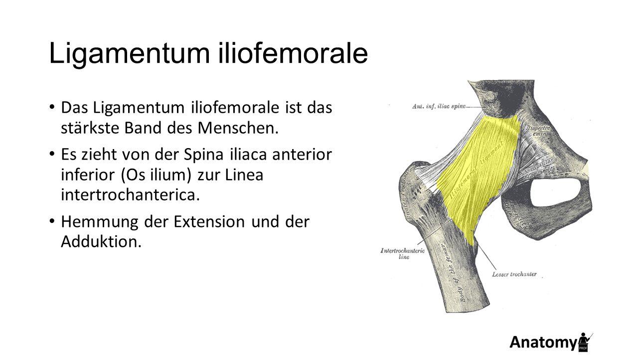 Ligamentum iliofemorale Das Ligamentum iliofemorale ist das stärkste Band des Menschen. Es zieht von der Spina iliaca anterior inferior (Os ilium) zur
