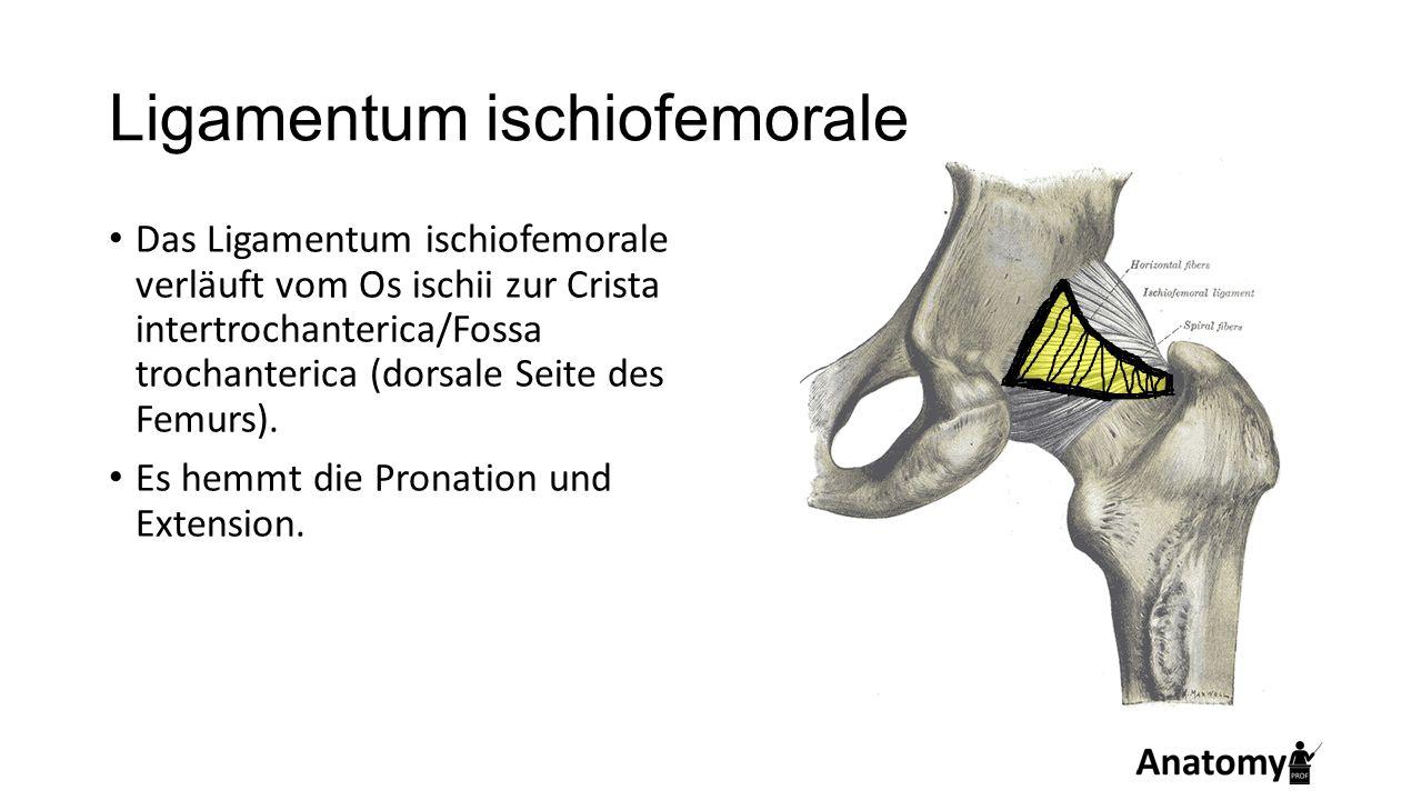 Ligamentum ischiofemorale Das Ligamentum ischiofemorale verläuft vom Os ischii zur Crista intertrochanterica/Fossa trochanterica (dorsale Seite des Fe