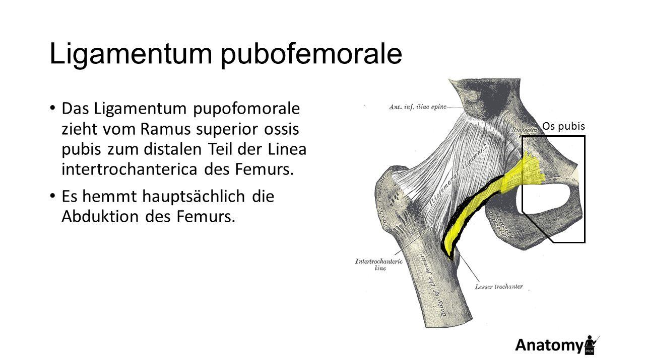 Ligamentum pubofemorale Das Ligamentum pupofomorale zieht vom Ramus superior ossis pubis zum distalen Teil der Linea intertrochanterica des Femurs. Es