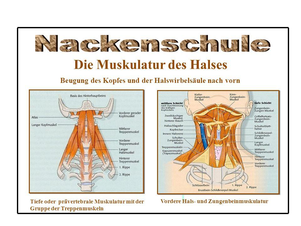 Die Muskulatur des Halses Beugung des Kopfes und der Halswirbelsäule nach vorn Tiefe oder prävertebrale Muskulatur mit der Gruppe der Treppenmuskeln V