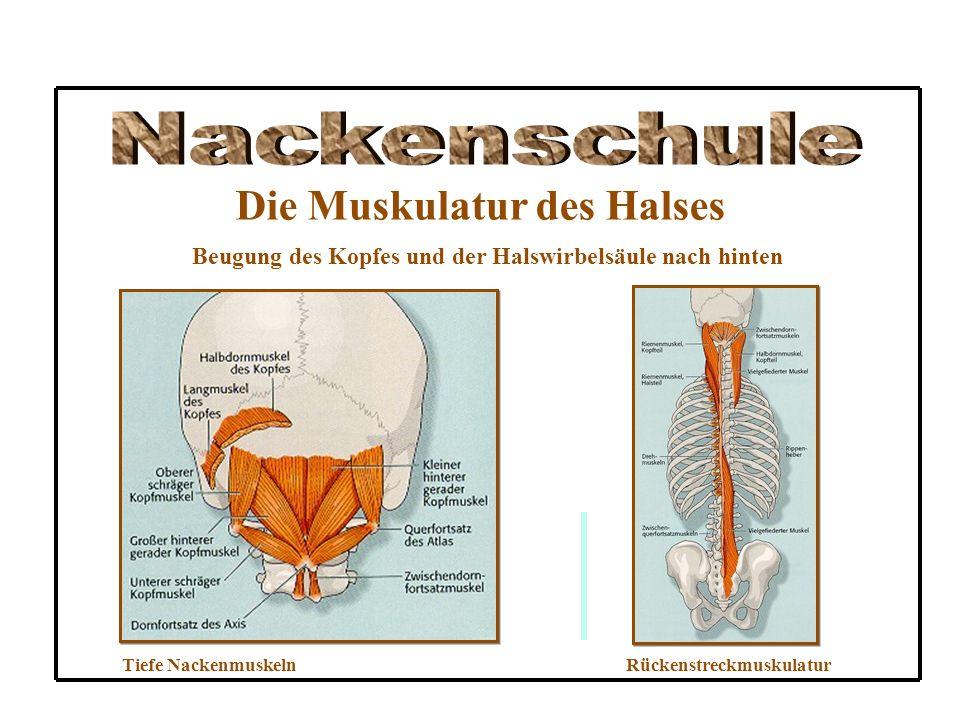 Die Muskulatur des Halses Beugung des Kopfes und der Halswirbelsäule nach hinten Tiefe NackenmuskelnRückenstreckmuskulatur