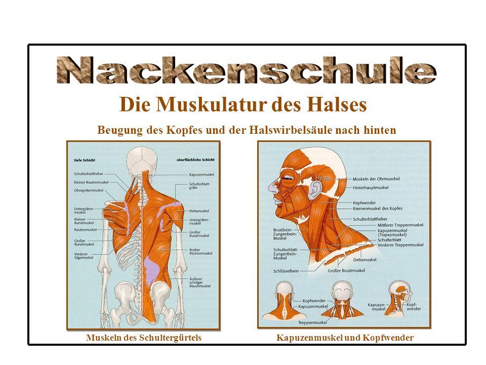 Die Muskulatur des Halses Beugung des Kopfes und der Halswirbelsäule nach hinten Muskeln des SchultergürtelsKapuzenmuskel und Kopfwender
