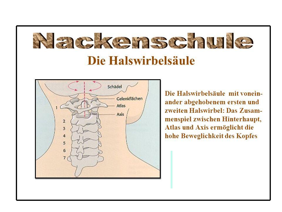 Die Halswirbelsäule Die Halswirbelsäule mit vonein- ander abgehobenem ersten und zweiten Halswirbel: Das Zusam- menspiel zwischen Hinterhaupt, Atlas u