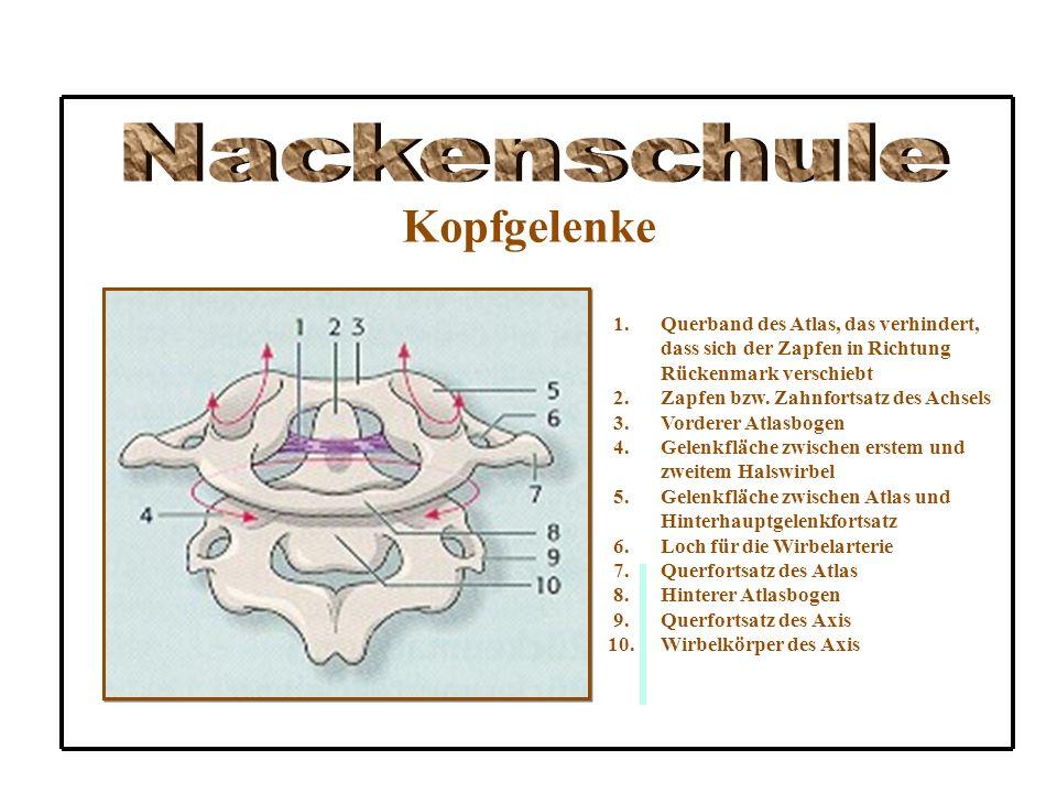 Kopfgelenke 1.Querband des Atlas, das verhindert, dass sich der Zapfen in Richtung Rückenmark verschiebt 2.Zapfen bzw. Zahnfortsatz des Achsels 3.Vord