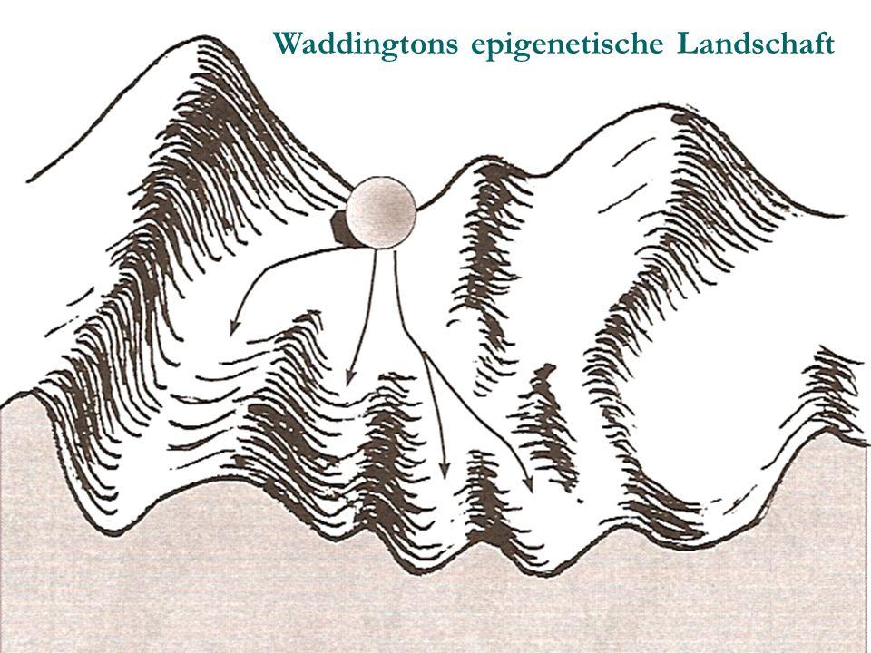 Waddingtons epigenetische Landschaft
