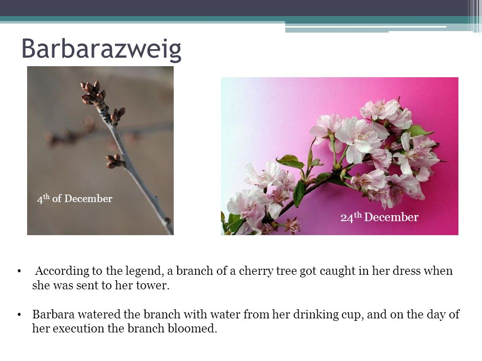 Was passiert am Barbaratag.On Barbaratag, a branch from a cherry tree is put in a vase.