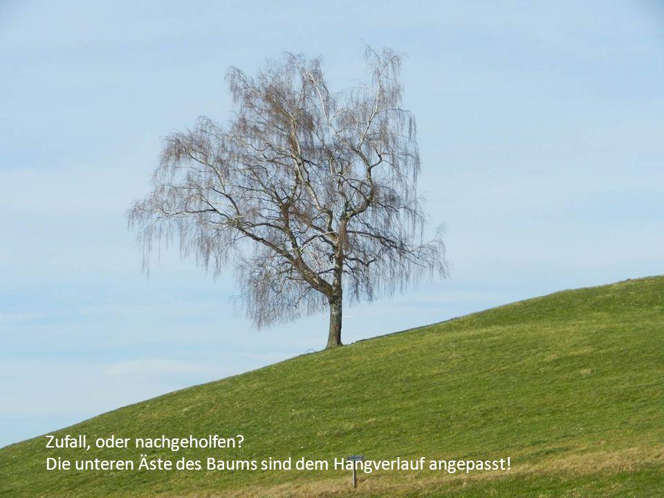 Zufall, oder nachgeholfen Die unteren Äste des Baums sind dem Hangverlauf angepasst!