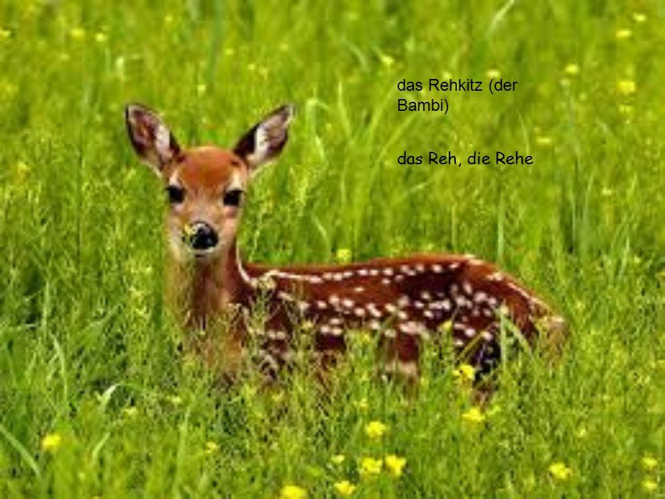 das Rehkitz (der Bambi) das Reh, die Rehe