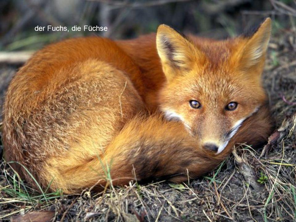 der Fuchs, die Füchse