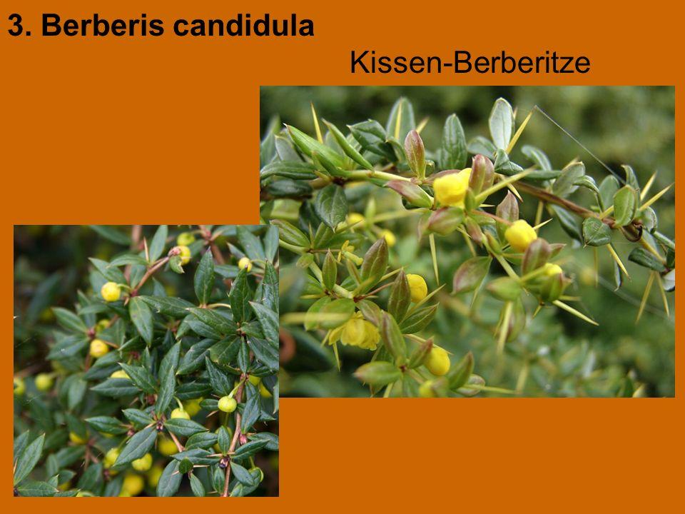 3. Berberis candidula Kissen-Berberitze