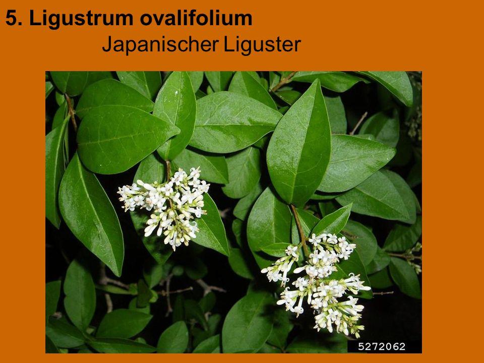 5. Ligustrum ovalifolium Japanischer Liguster