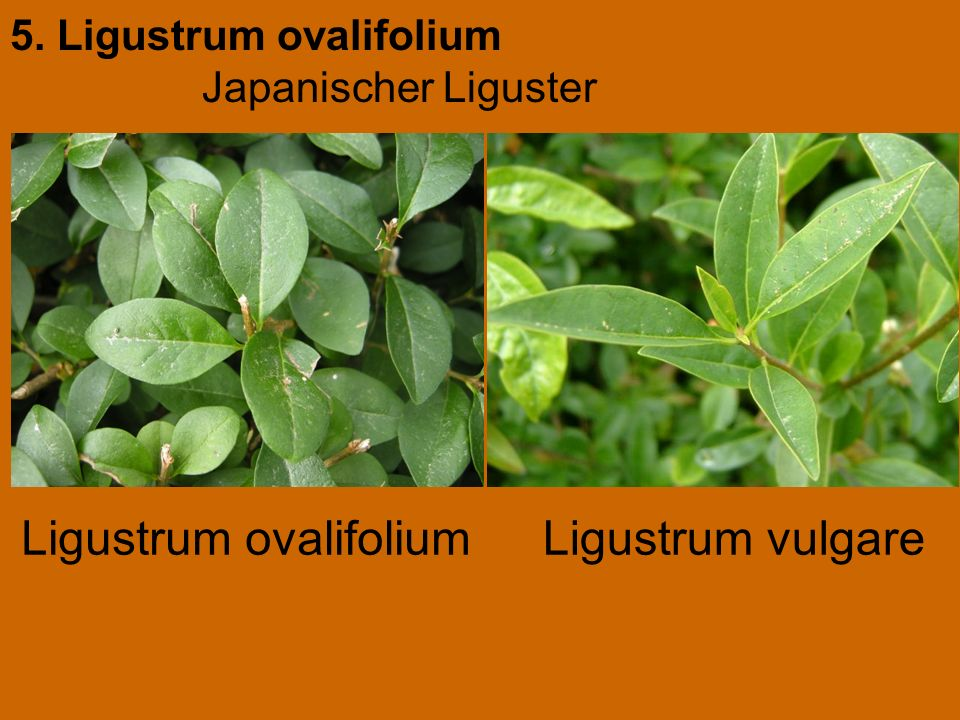5. Ligustrum ovalifolium Japanischer Liguster Ligustrum vulgareLigustrum ovalifolium