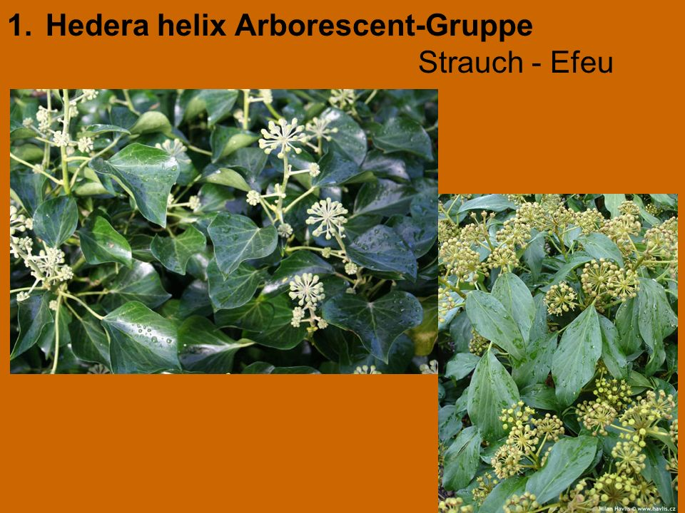 1.Hedera helix Arborescent-Gruppe Strauch - Efeu