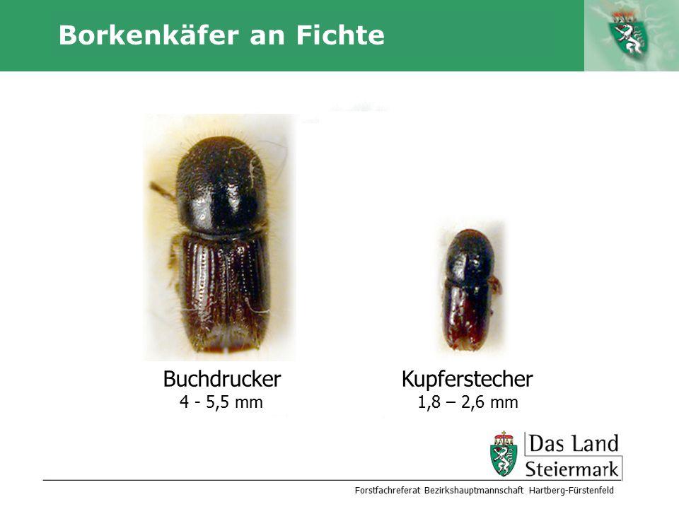 Autor Borkenkäfer an Fichte Forstfachreferat Bezirkshauptmannschaft Hartberg-Fürstenfeld Buchdrucker 4 - 5,5 mm Kupferstecher 1,8 – 2,6 mm