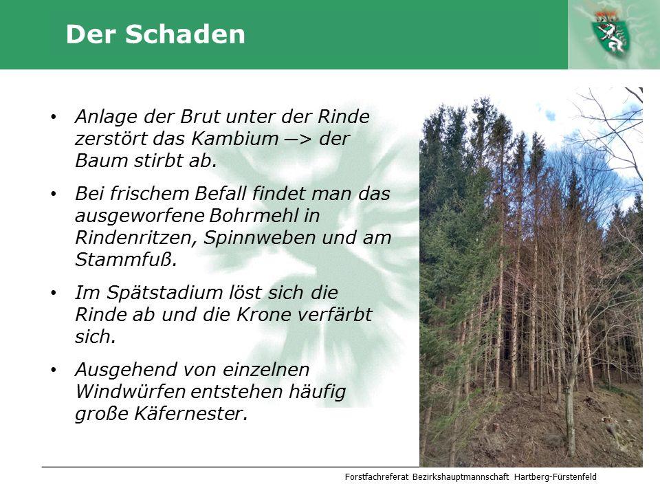 Autor Der Schaden Anlage der Brut unter der Rinde zerstört das Kambium ─ > der Baum stirbt ab. Bei frischem Befall findet man das ausgeworfene Bohrmeh