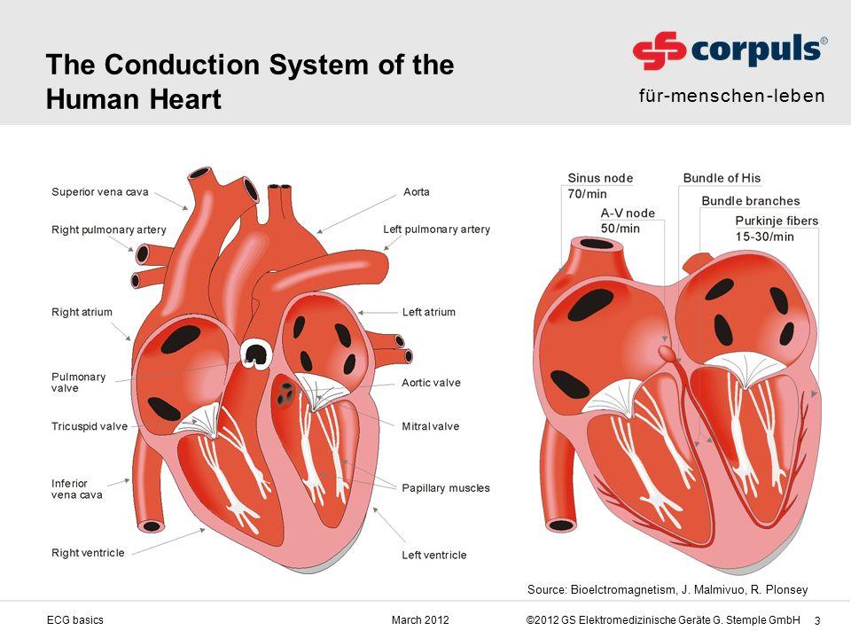 für-menschen-leben ©2012 GS Elektromedizinische Geräte G. Stemple GmbHMarch 2012ECG basics 3 The Conduction System of the Human Heart Source: Bioelctr