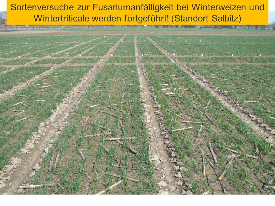 Sortenversuche zur Fusariumanfälligkeit bei Winterweizen und Wintertriticale werden fortgeführt! (Standort Salbitz)