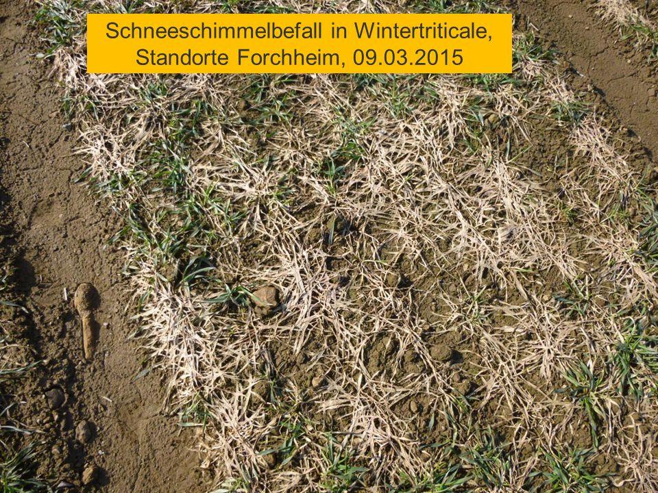 Schneeschimmelbefall in Wintertriticale, Standorte Forchheim, 09.03.2015