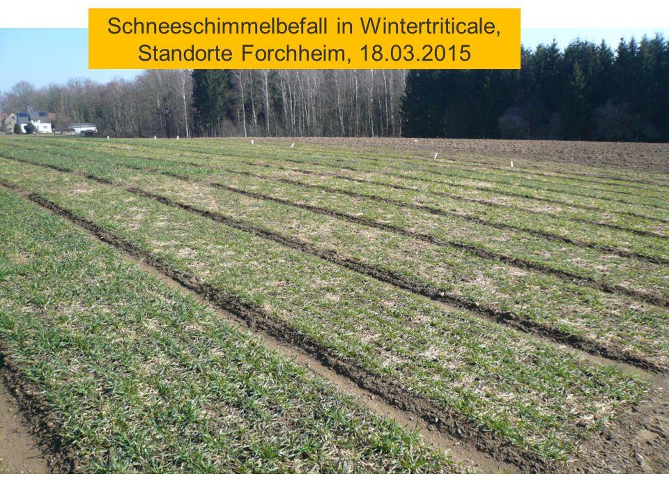 Schneeschimmelbefall in Wintertriticale, Standorte Forchheim, 18.03.2015