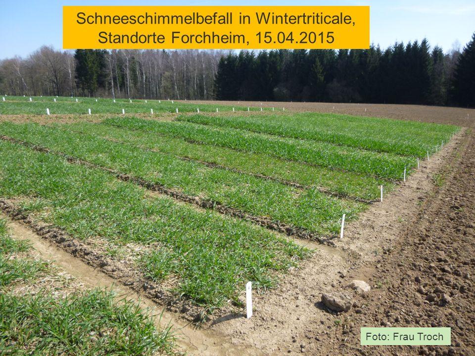 Schneeschimmelbefall in Wintertriticale, Standorte Forchheim, 15.04.2015 Foto: Frau Troch