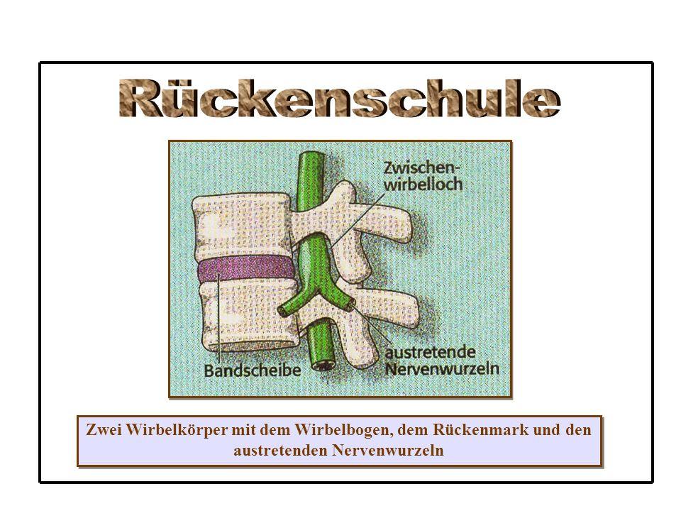 Zwei Wirbelkörper mit dem Wirbelbogen, dem Rückenmark und den austretenden Nervenwurzeln Zwei Wirbelkörper mit dem Wirbelbogen, dem Rückenmark und den austretenden Nervenwurzeln