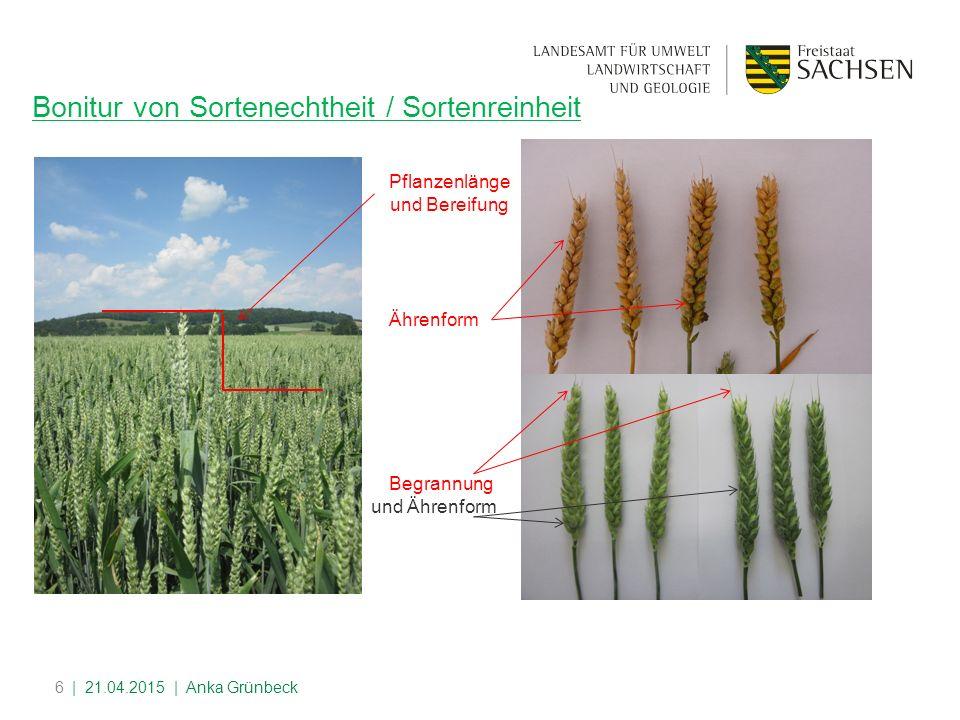 6 Bonitur von Sortenechtheit / Sortenreinheit Pflanzenlänge und Bereifung Begrannung und Ährenform Ährenform | 21.04.2015 | Anka Grünbeck