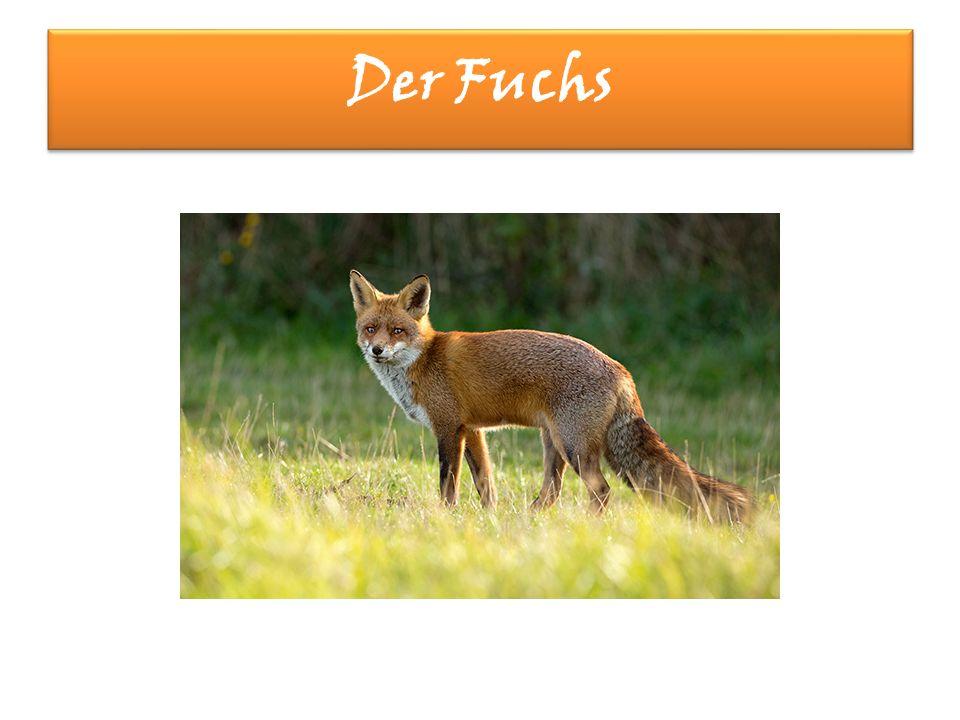 Der Fuchs Der Fuchs