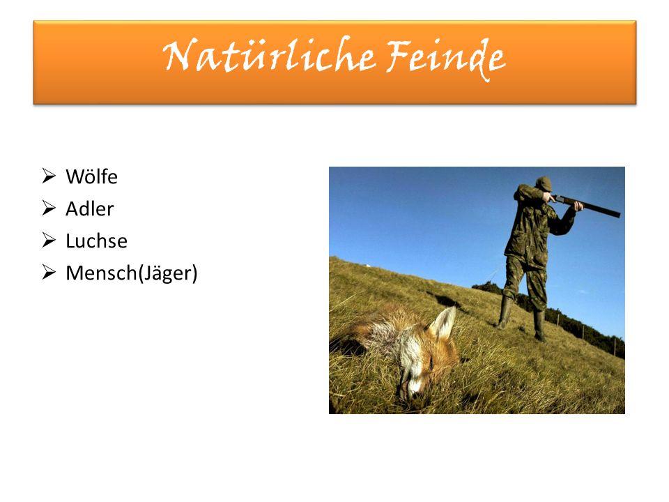 Natürliche Feinde  Wölfe  Adler  Luchse  Mensch(Jäger)