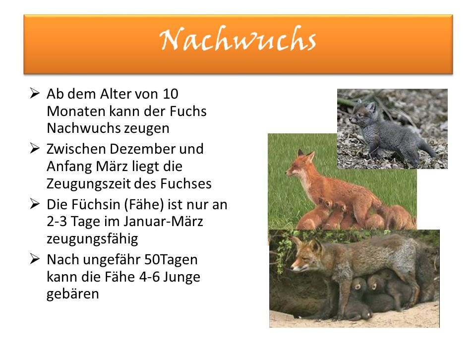 Nachwuchs  Ab dem Alter von 10 Monaten kann der Fuchs Nachwuchs zeugen  Zwischen Dezember und Anfang März liegt die Zeugungszeit des Fuchses  Die Füchsin (Fähe) ist nur an 2-3 Tage im Januar-März zeugungsfähig  Nach ungefähr 50Tagen kann die Fähe 4-6 Junge gebären