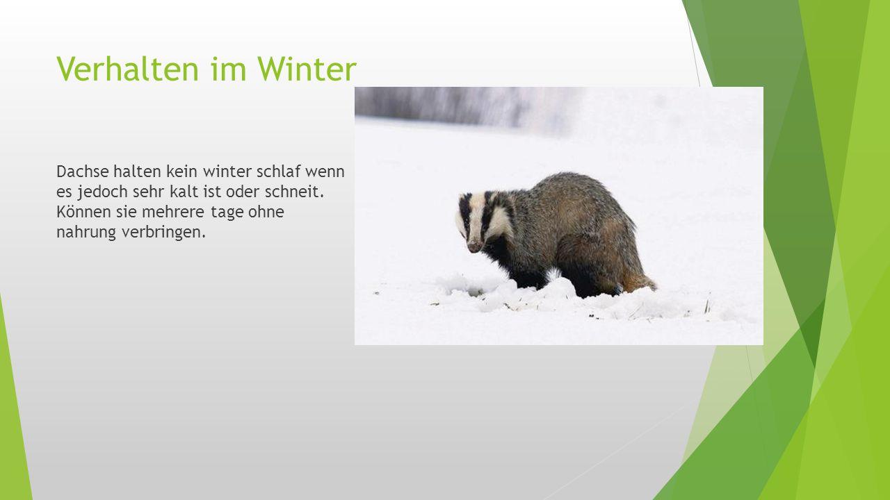 Verhalten im Winter Dachse halten kein winter schlaf wenn es jedoch sehr kalt ist oder schneit.
