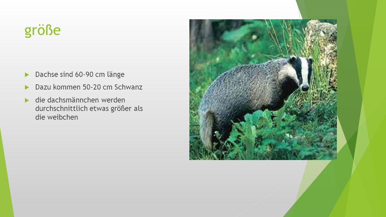 größe  Dachse sind 60-90 cm länge  Dazu kommen 50-20 cm Schwanz  die dachsmännchen werden durchschnittlich etwas größer als die weibchen