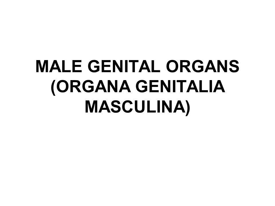 Crista urethralis Colliculus seminalis Utriculus prostaticus Ductus ejaculatorii Sinus prostatici