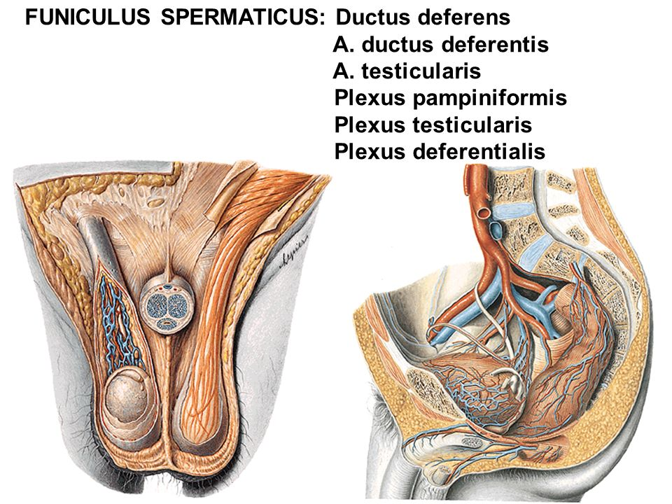FUNICULUS SPERMATICUS: Ductus deferens A.ductus deferentis A.
