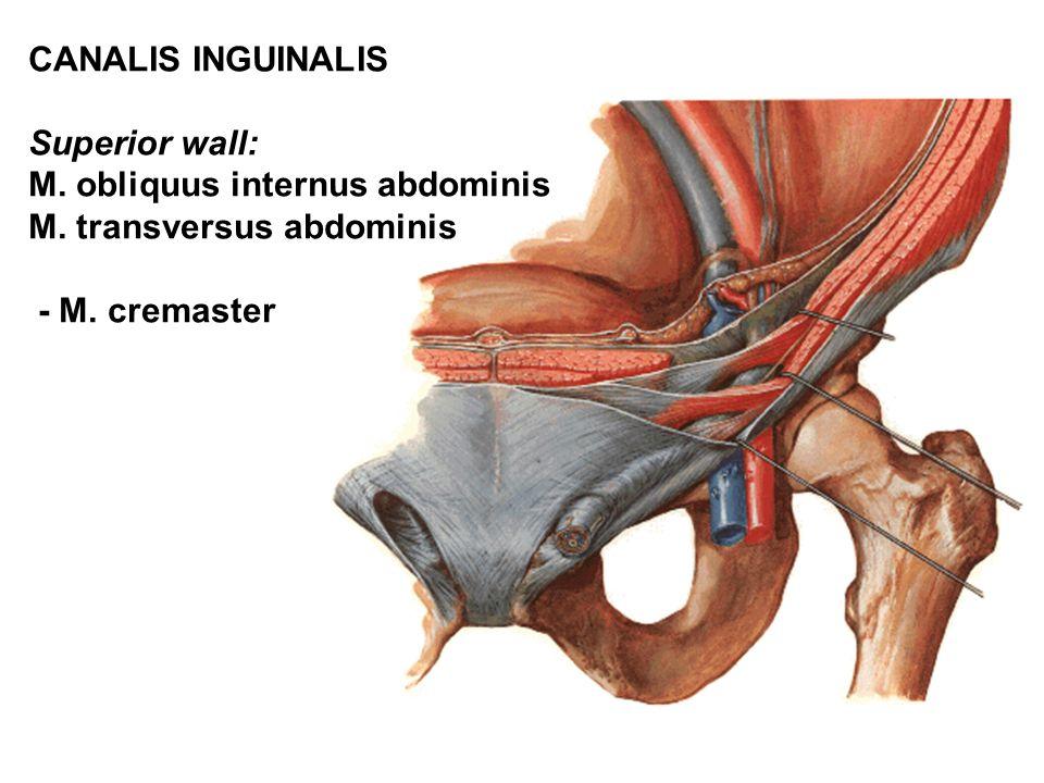 CANALIS INGUINALIS Superior wall: M. obliquus internus abdominis M.