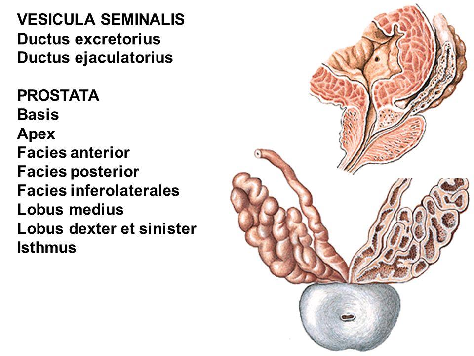 VESICULA SEMINALIS Ductus excretorius Ductus ejaculatorius PROSTATA Basis Apex Facies anterior Facies posterior Facies inferolaterales Lobus medius Lobus dexter et sinister Isthmus