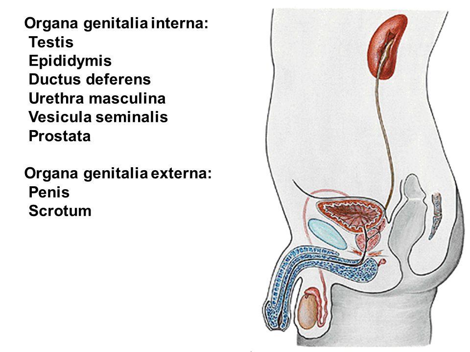 Organa genitalia interna: Testis Epididymis Ductus deferens Urethra masculina Vesicula seminalis Prostata Organa genitalia externa: Penis Scrotum