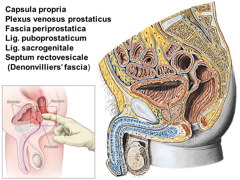 Capsula propria Plexus venosus prostaticus Fascia periprostatica Lig.