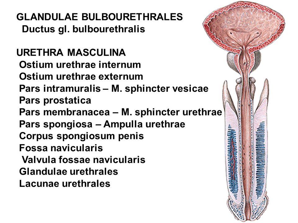 GLANDULAE BULBOURETHRALES Ductus gl.