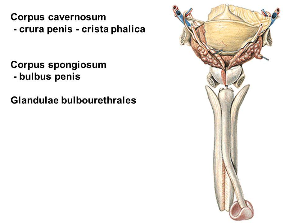 Corpus cavernosum - crura penis - crista phalica Corpus spongiosum - bulbus penis Glandulae bulbourethrales
