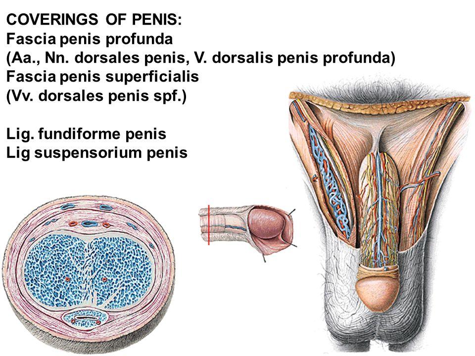 COVERINGS OF PENIS: Fascia penis profunda (Aa., Nn.